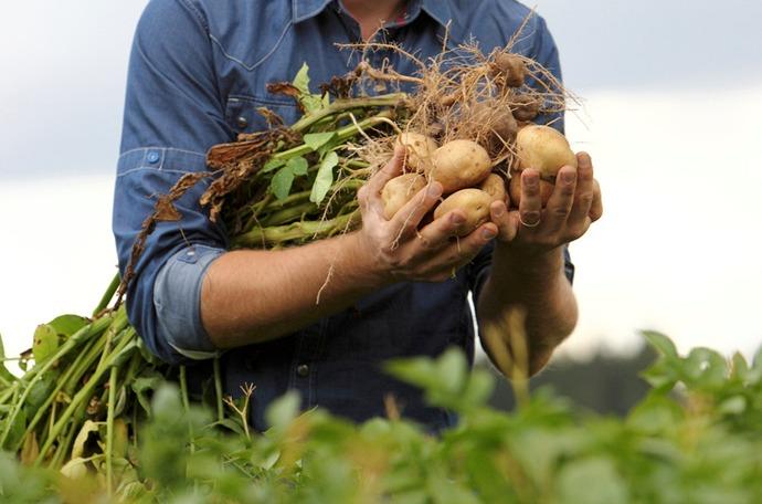 Ziemniak jakość porady