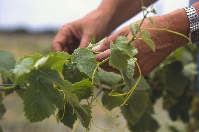 rendement vigne