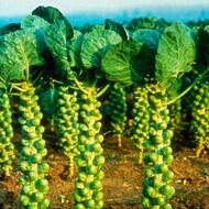 Pricipios para cultivar Brassicas