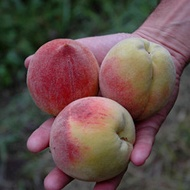 Increasing Stone Fruit Size and Weight