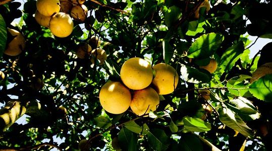 柑橘作物营养方案