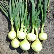 Onion Crop Nutrition Programme