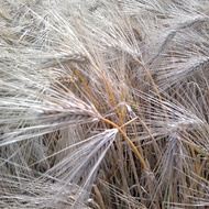 Barley World Production