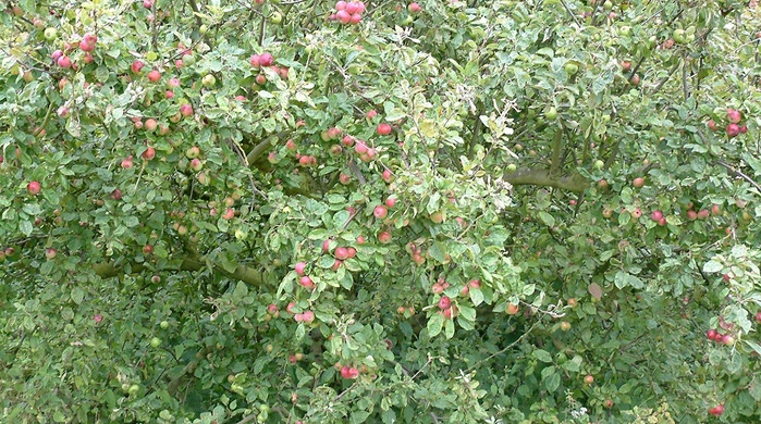 apple tree manipulation, heavy fruit load, bearing