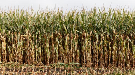 forage corn