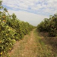 HLB – Doença de Greening em Citros