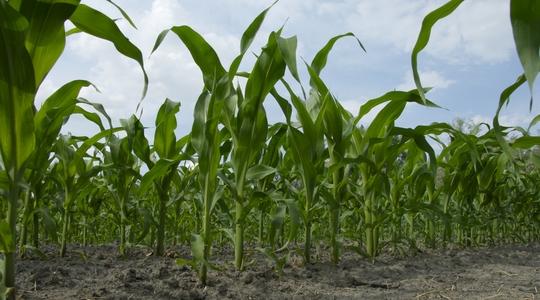 Forage maize needs zinc