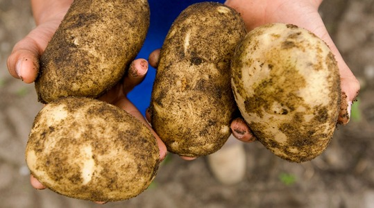 How to influence potato tuber dry matter content