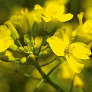 Oilseed Rape Health