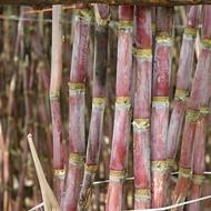 Variedades da Cana-de-açúcar