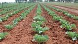 Preventing Black Petiole in Vegetable Brassica