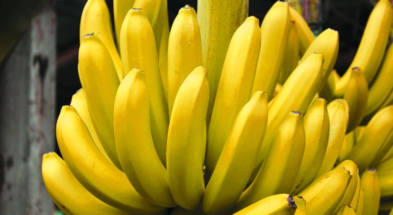 Influência sobre os níveis de amido e açúcares na Banana