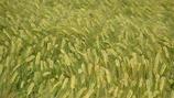 Influencing Barley Grain Nitrogen