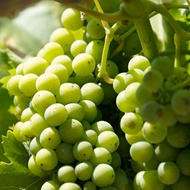 Nitrogen Compounds in the Wine Grape Must