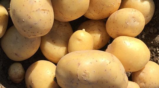 Wie Sie die Kartoffel-Qualität beeinflussen