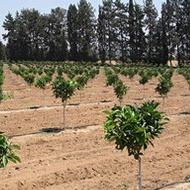Maior eficiência de uso da água na Produção de Citros