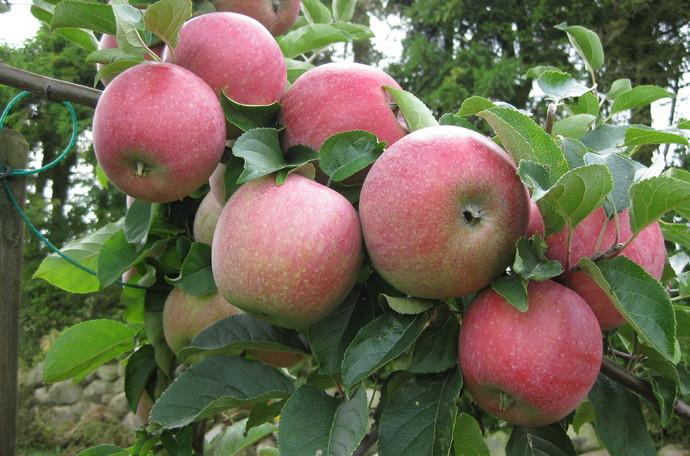 Una buena producción de manzanas