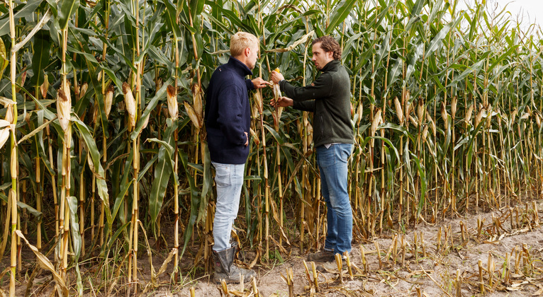 Five steps to increase forage maize yield and quality