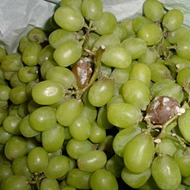 Minimizing Table Grape Berry Rot and Disease