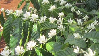 Coffee Flowering