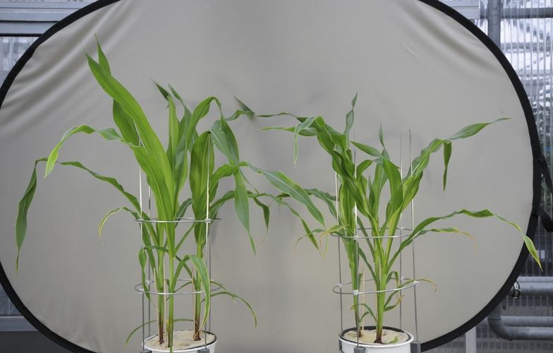 maize with and without deficiency