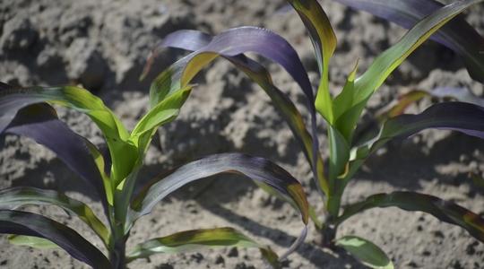 phosphorus deficiency in corn leaves