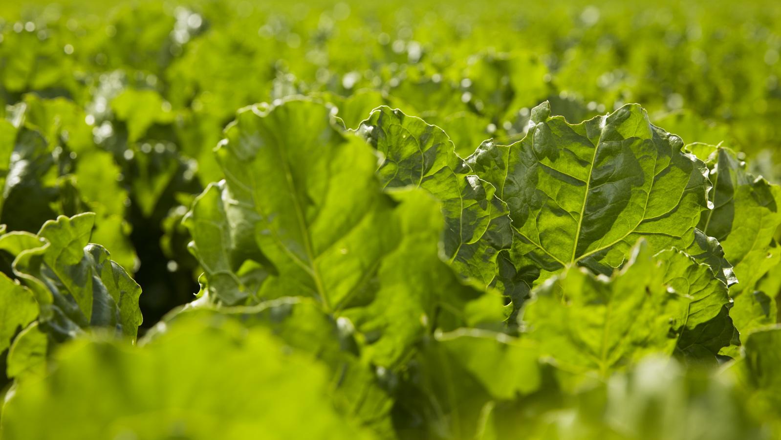 Sugar Beet Crop programme
