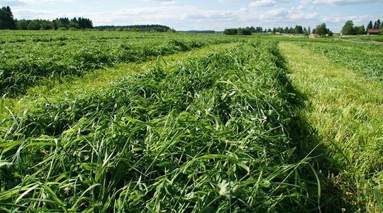 Lehtilannoitus paransi nurmen toisen sadon kasvua ja laatua