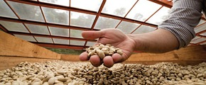 Yara coffee crop nutrition program