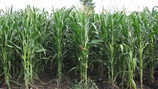 07.2 Yellowing of Maize Leaves and Crop Nutrition PROMO PICTURE