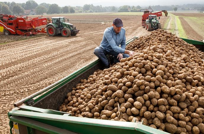 Kartupeļu raža
