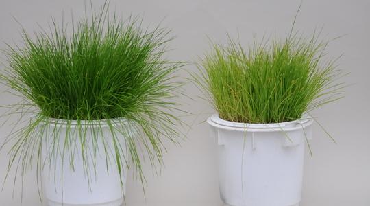 Grass sulphur deficiency
