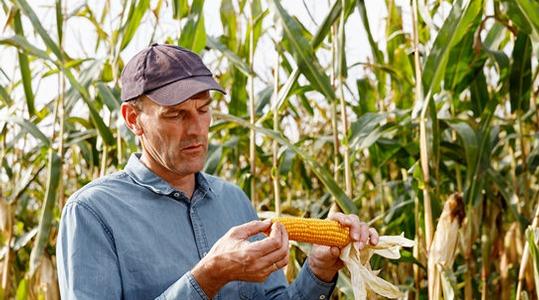 Impatto sulla resa del mais