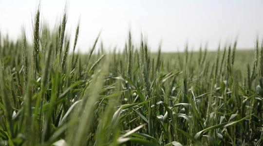 Qualité du blé