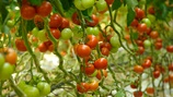 Tomato Firmness