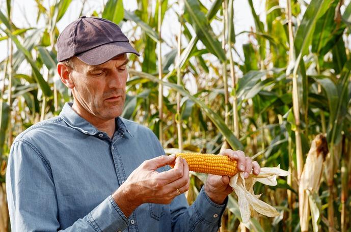 Kukurydza jakość porady