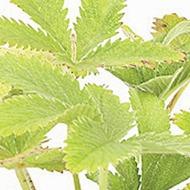 Hemp Cannabis Sativa