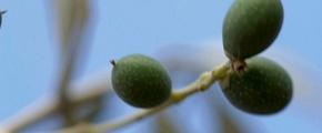 olive -using Yara fertilizer