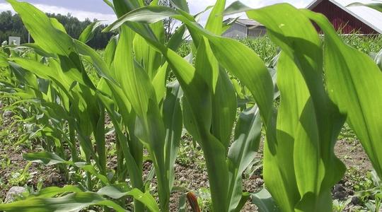 Resumen nutricional del maíz