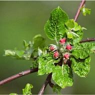 Decreasing Alfalfa Greening Occurrence in Pome Fruit