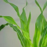 Crecimiento de la planta de maíz