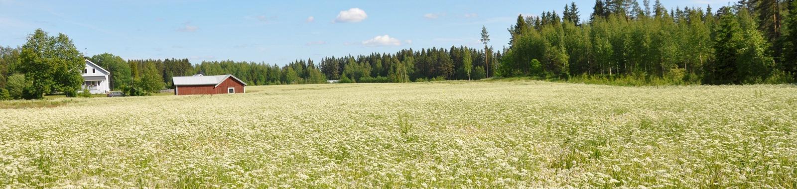 Kuminan viljely