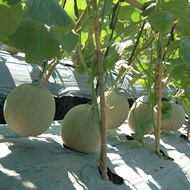 Melon - Water Management