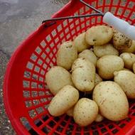 A burgonyahéj minőségének javítása