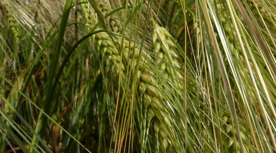 Wachstum und Entwicklung der Gerste