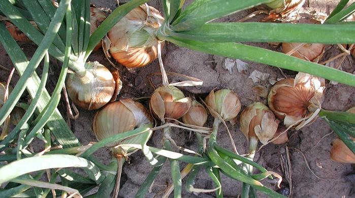 onions uneven spacing