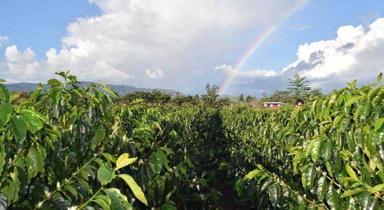Campo de café peruano