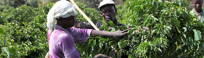 Coffee harvesting - Yara