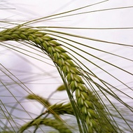 Maintaining Barley Leaf Canopy