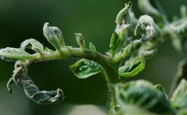Kuvassa on perunan vakava kalsiuminpuutos.